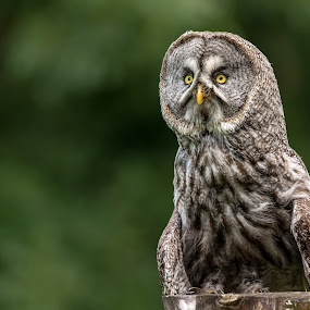 Focused Attention by Barry Smith - Animals Birds ( birds of prey, ornithology, watching, birds, owls,  )