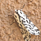 Many Spotted Tiger Moth