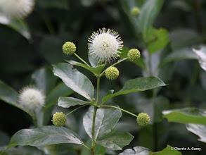 Photo: Buttonbush, 7.10.10