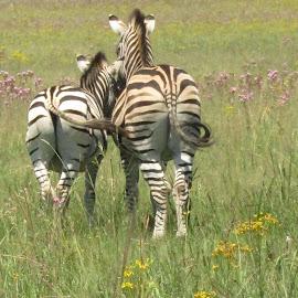 Zebras from behind by Marissa Enslin - Digital Art Animals (  )