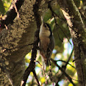 White-breasted Nuthatche