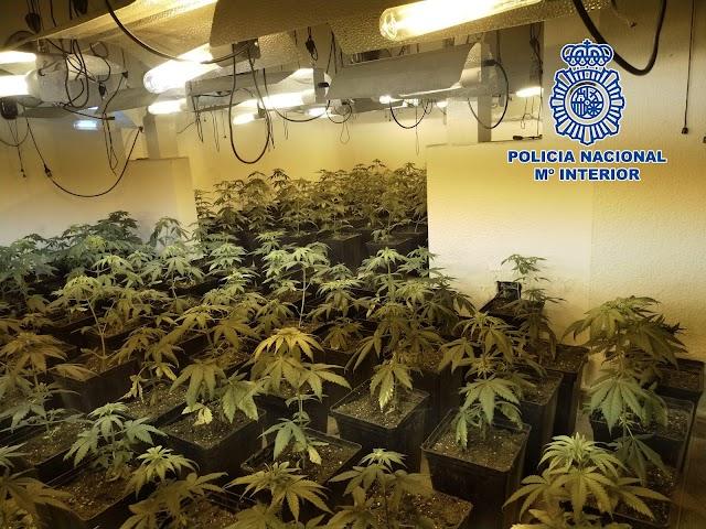 Plantación de marihuana intervenida.