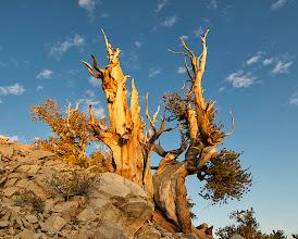 Photo: Bristlecone Pine, White Mountains, California #TreeTuesday