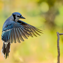 Blue Jay Approach by Carl Albro - Animals Birds ( bluejay, bird, songbird, flying )