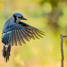 Blue Jay Approach by Carl Albro - Animals Birds ( bluejay, bird, songbird, flying )