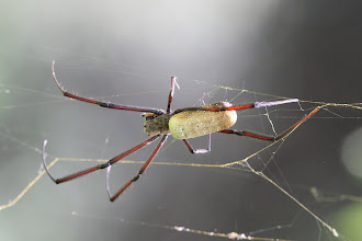 Photo: Nephila orb weaver spider