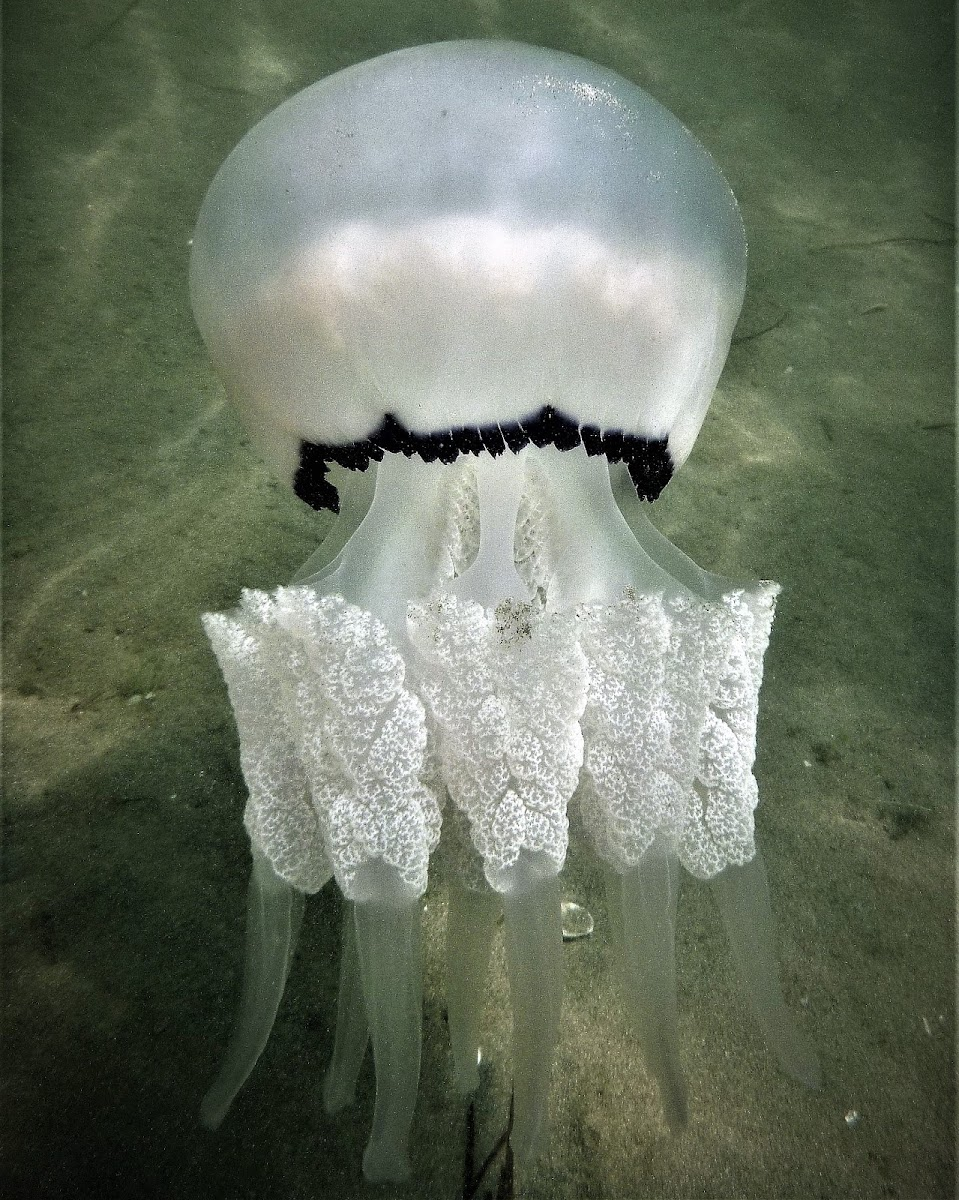 Barrel jellyfish. Medusa aguamala