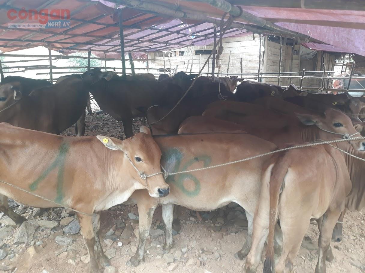 Giá bò trong Đề án được cho là cao gấp nhiều lần giá thị trường