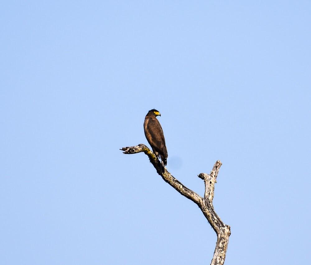eagle on tree branch in brt wildlife sanctuary.jpg
