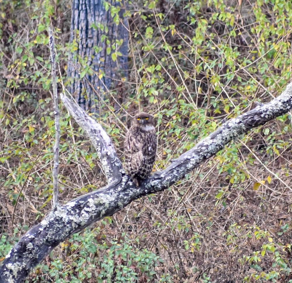 owl in biligiri rangana betta hills safari.jpg