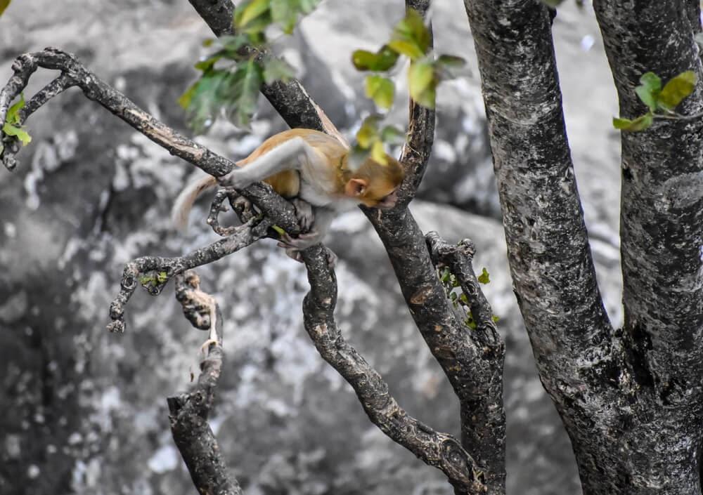 monkeys at popa mt.jpg