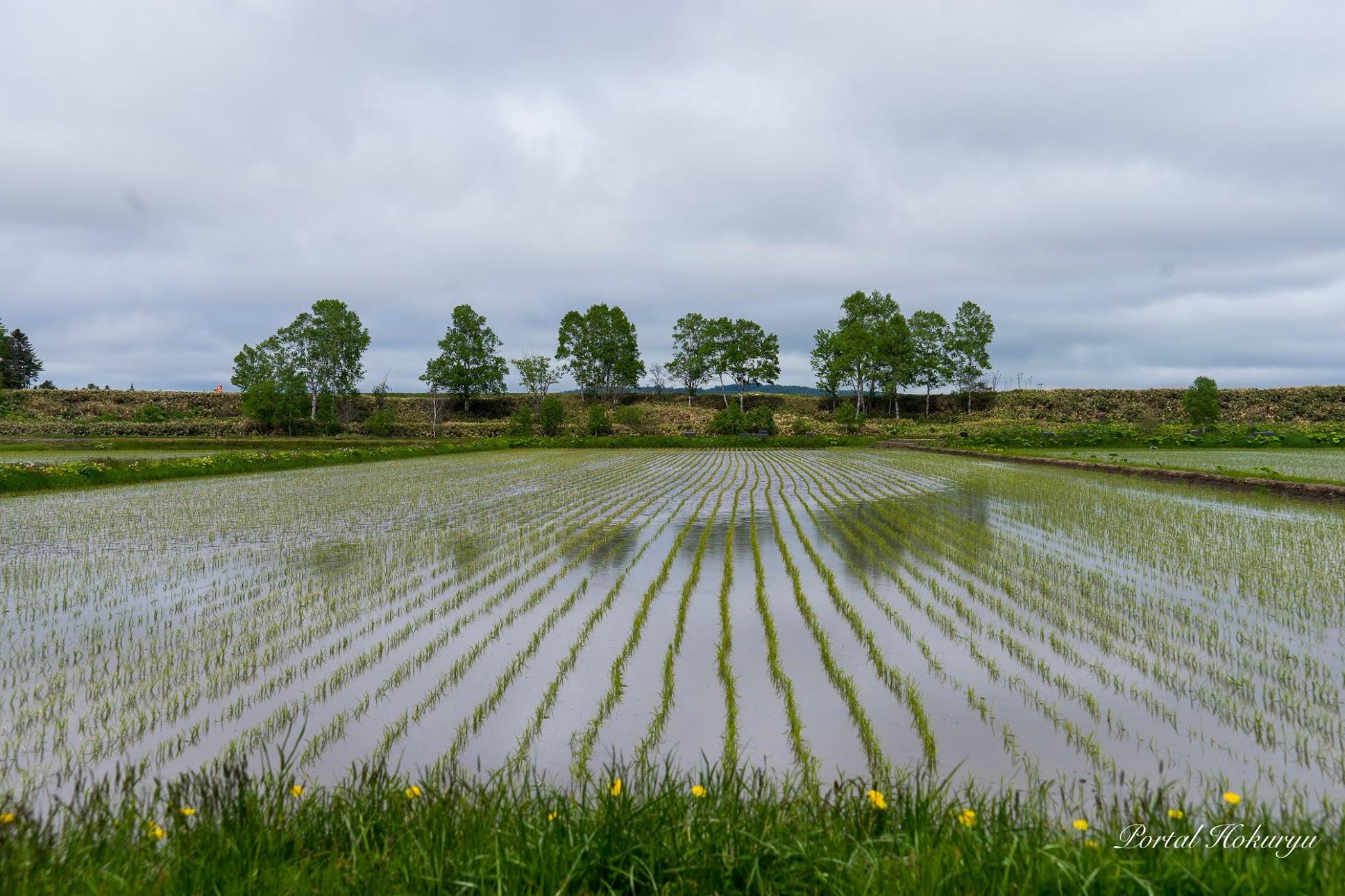 緑の縞模様を描く水田