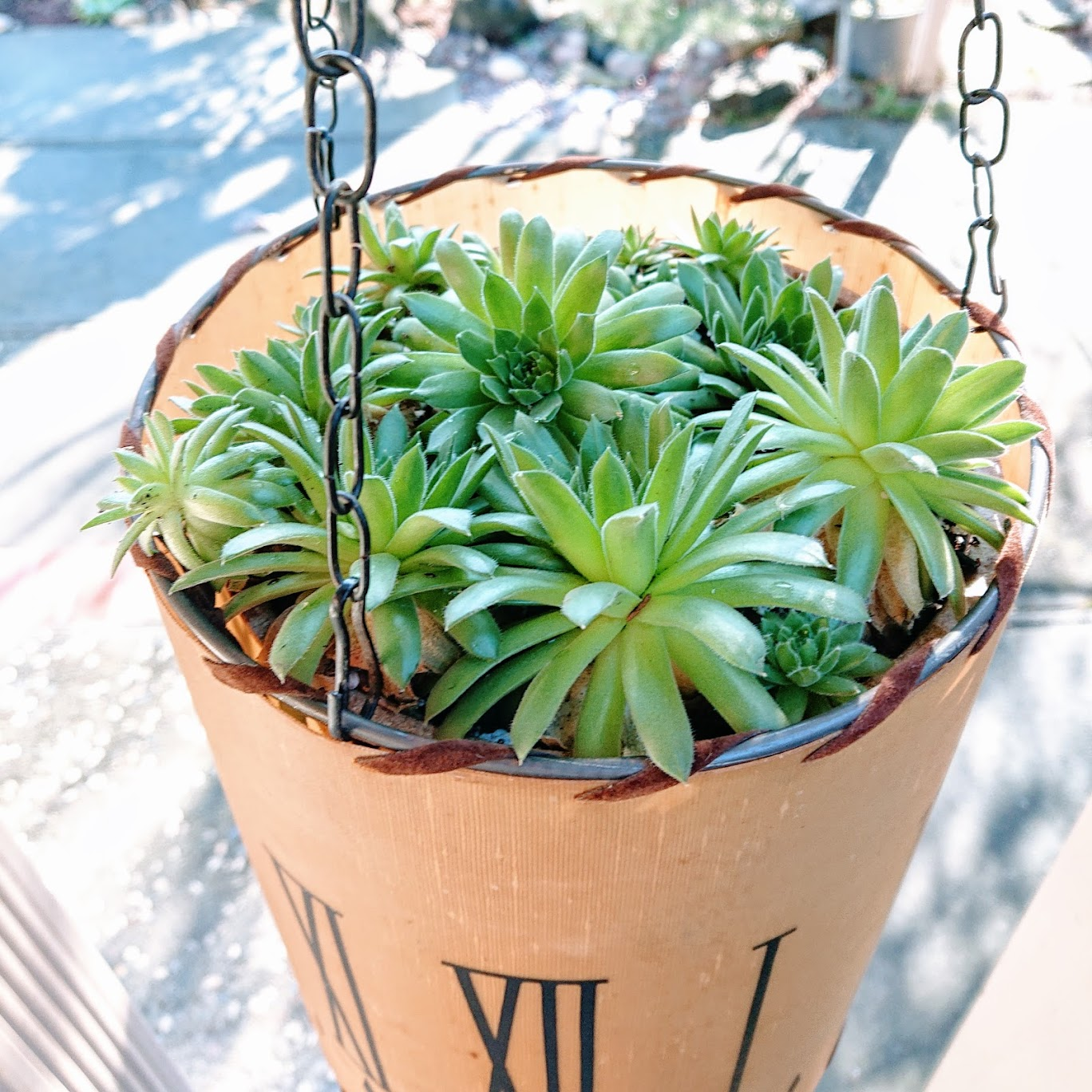 Chains are hooked to the top rim and a pot of sempervivum clusters is placed inside. | FAFAFOOM STUDIO