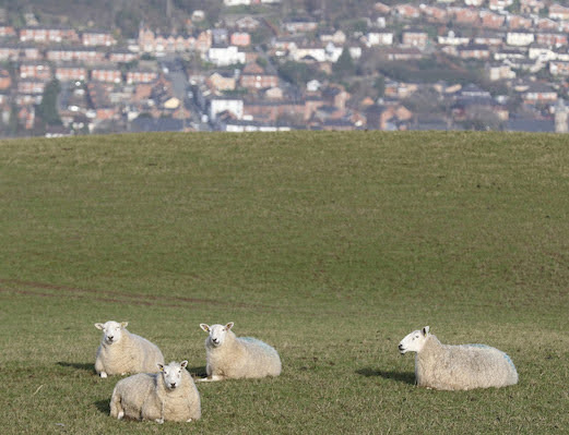 Use Welsh wool, construction industry told