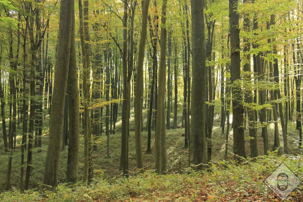 KÉP / Erdőkatedrális