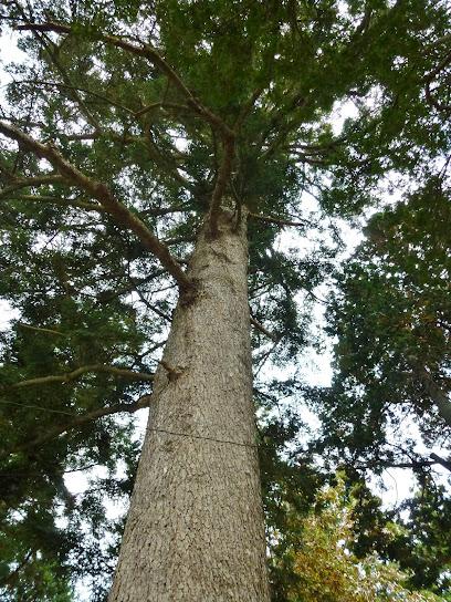 松笠屋敷前の樅の木