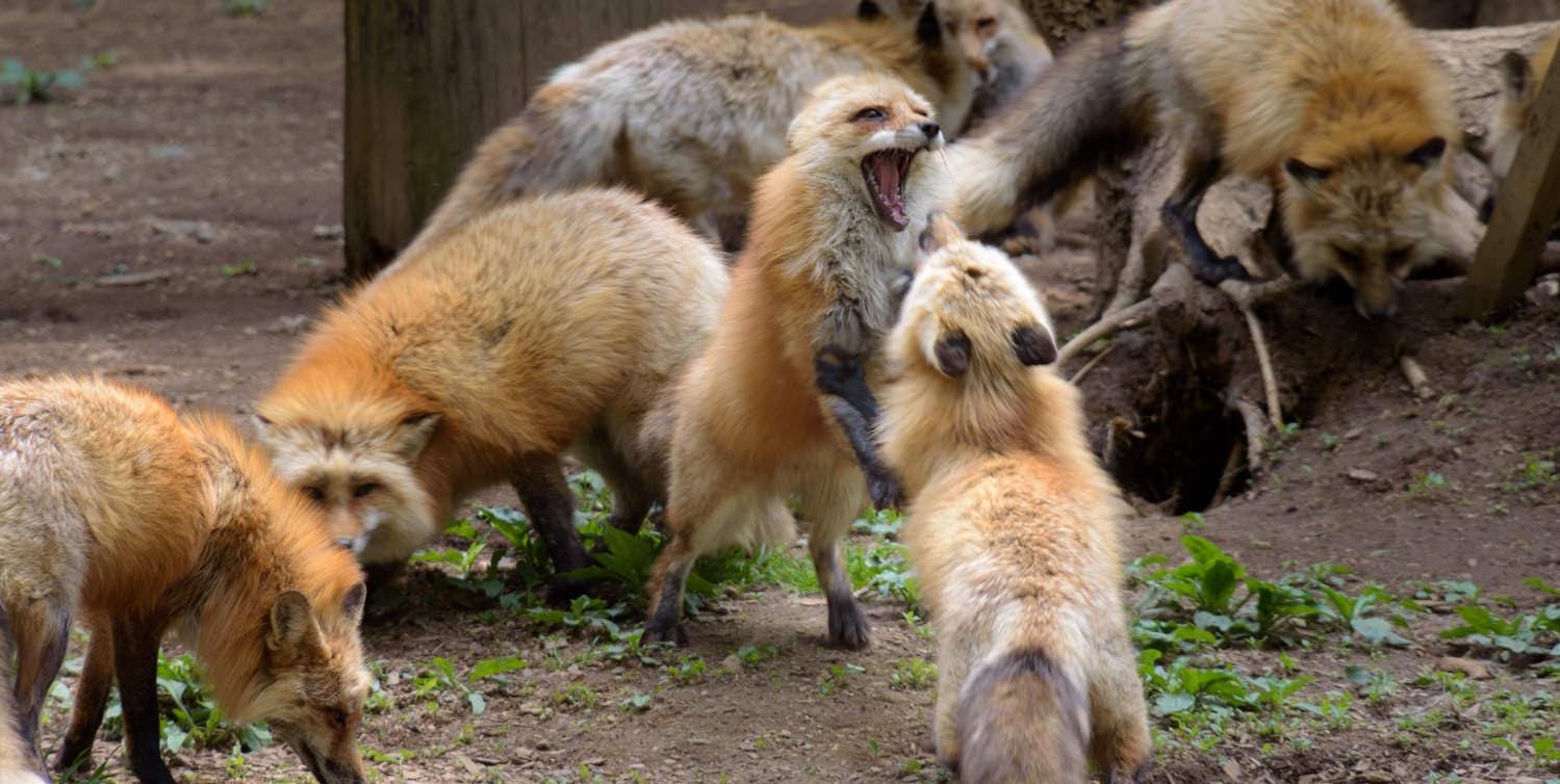 【旅29日目】100匹のキツネを間近で見れる「蔵王キツネ村」