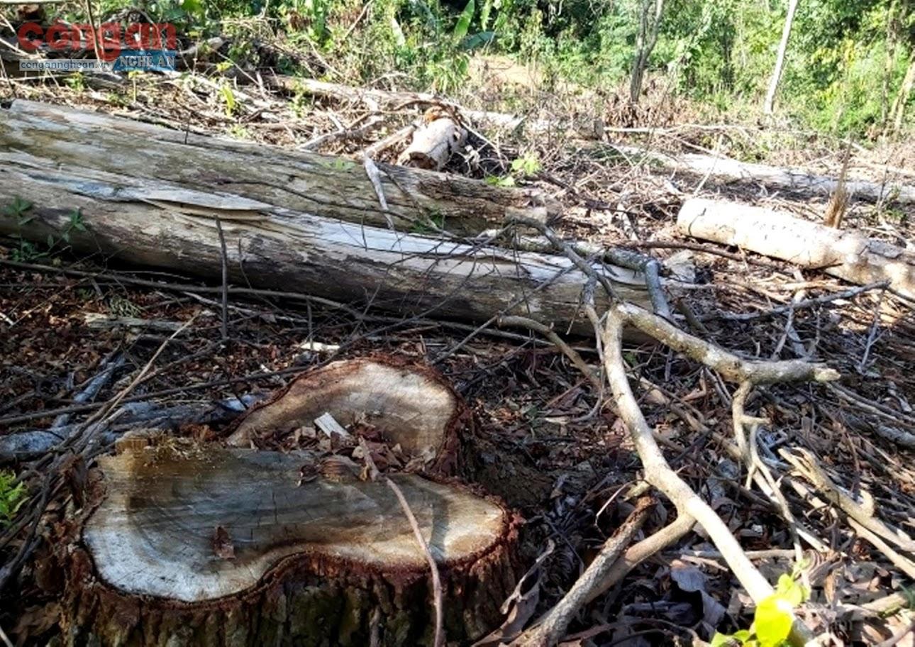 Diện tích rừng keo phòng hộ bị chặt phá                                                  do Ban Quản lý rừng phòng hộ Quỳ Hợp quản lý