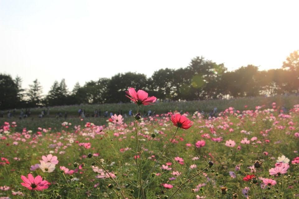 昭和記念公園でコスモスを撮ってきた!