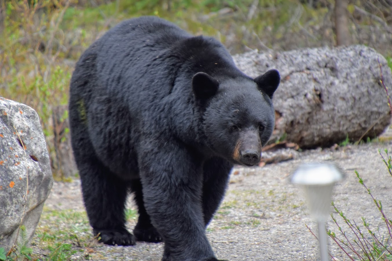 oso en Canadá