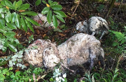 More dead sheep dumped