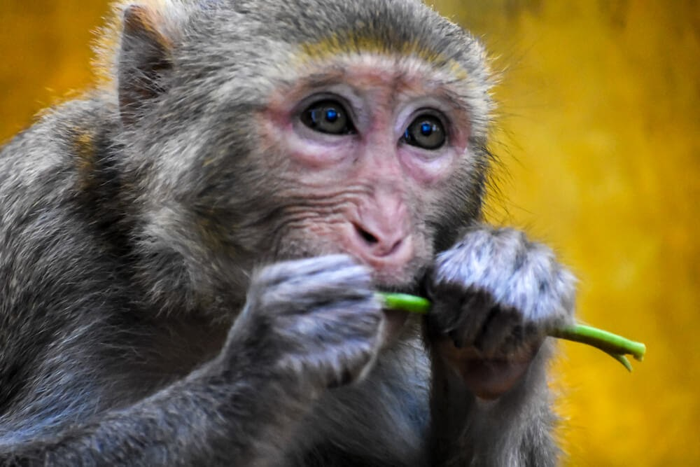 rhesus monkey close up at monte popa myanmar.jpg
