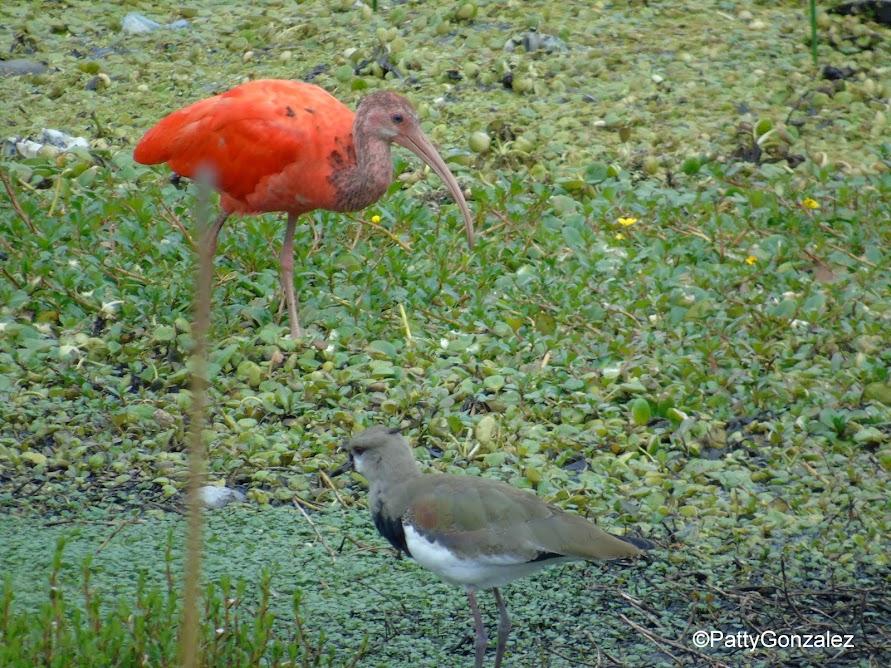 Ibis escarlata en el humedal Tibabuyes