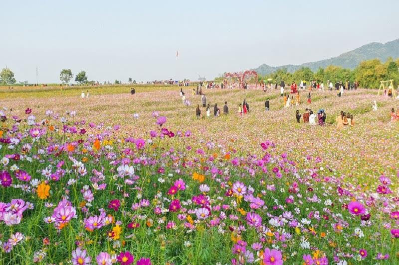Khung cảnh thơ mộng tại đồi hoa xuân Thị xã Thái Hòa thu hút nhiều khách du lịch (nguồn internet)