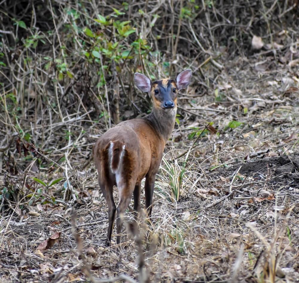 barking deer in biligiri ranga hills sanctuary.jpg