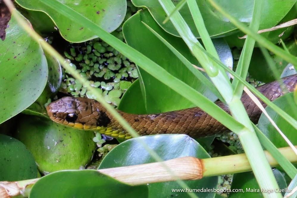 Culebra huertera en el humedal Jaboque