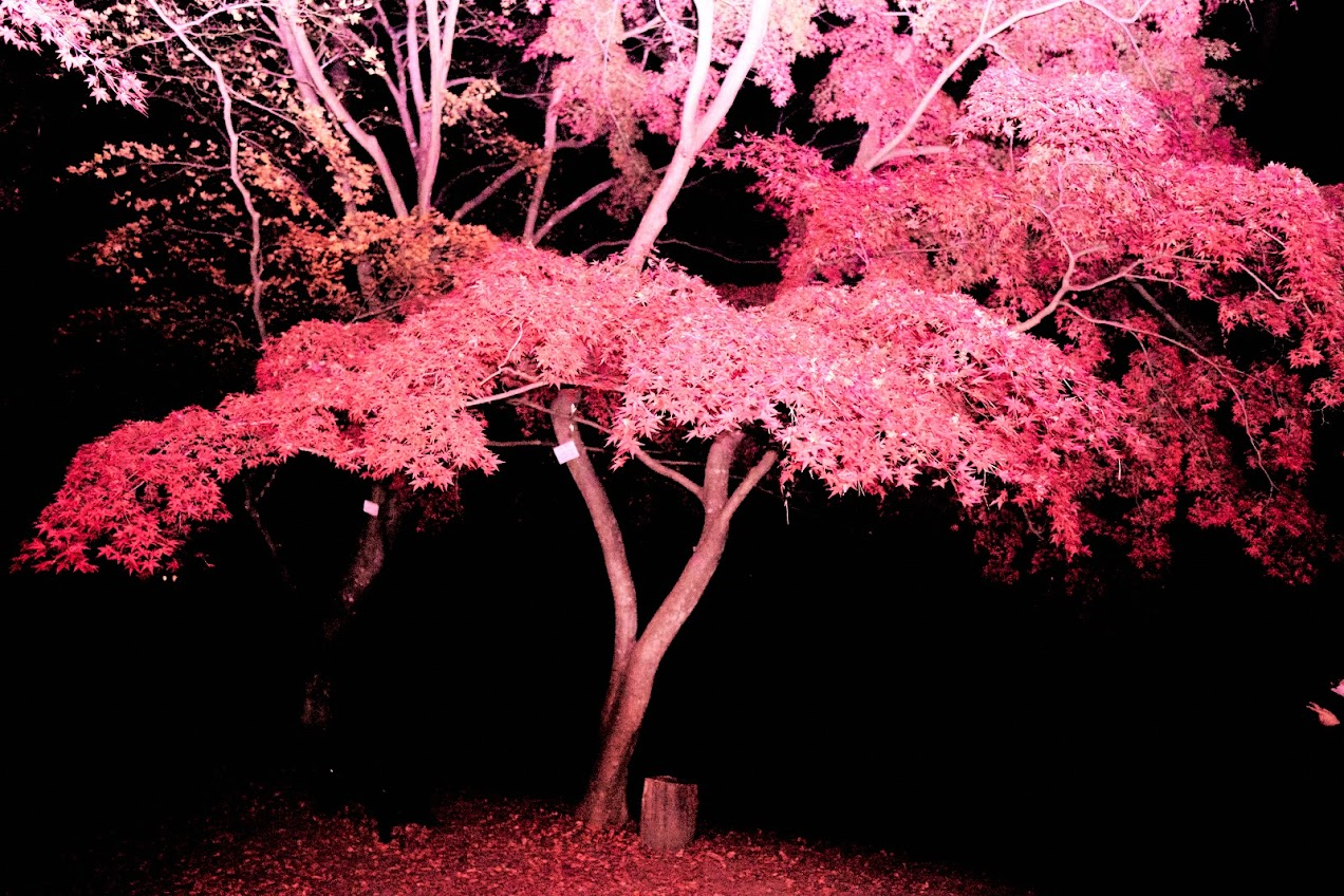 【長瀞】「月の石もみじ公園」の紅葉(夜間撮影)