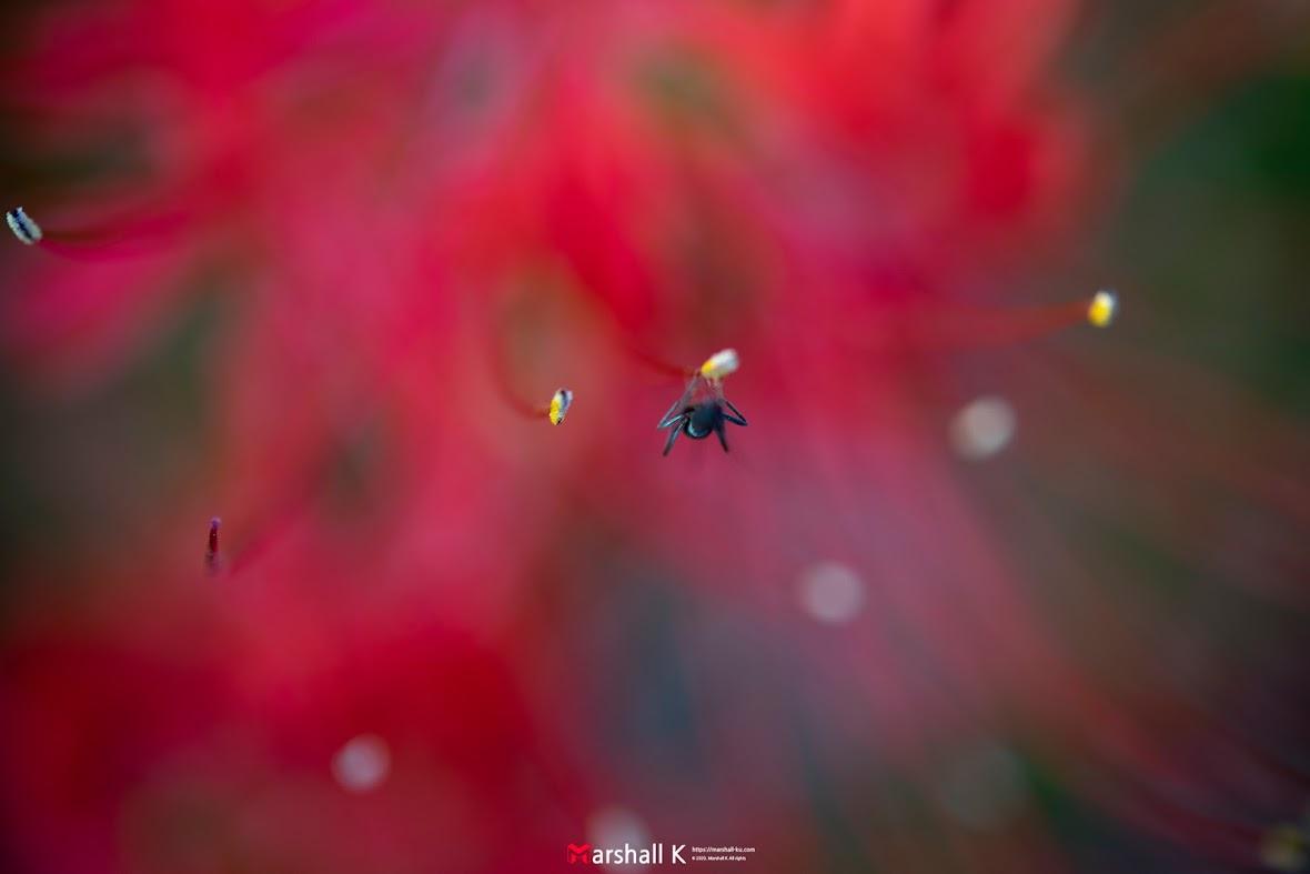 꽃무릇 - 개미 1