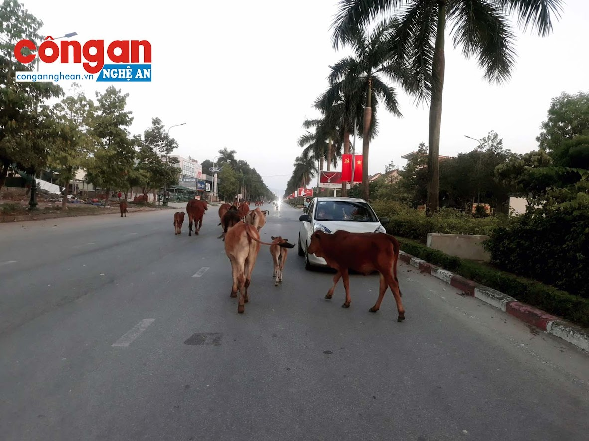 Đàn bò hàng chục con nghênh ngang băng qua đường khiến nhiều ôtô phải phanh gấp để tránh tai nạn.