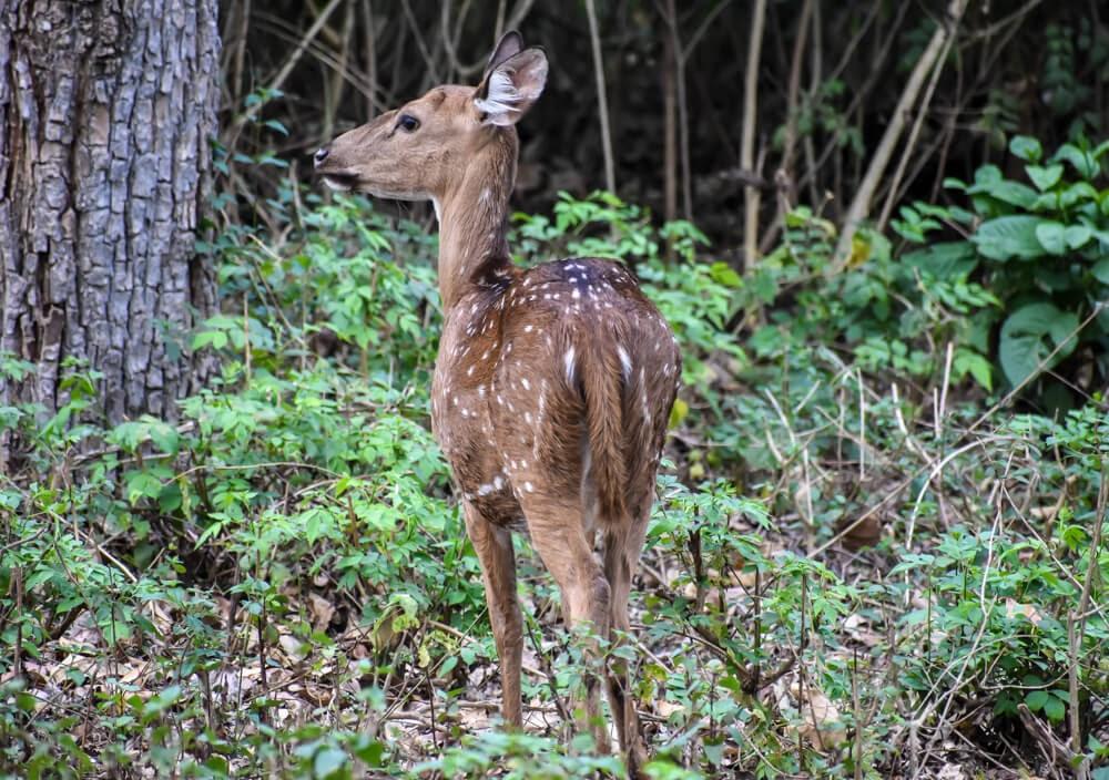 cheetal deer in brt wildlife sanctuary karnataka.jpg