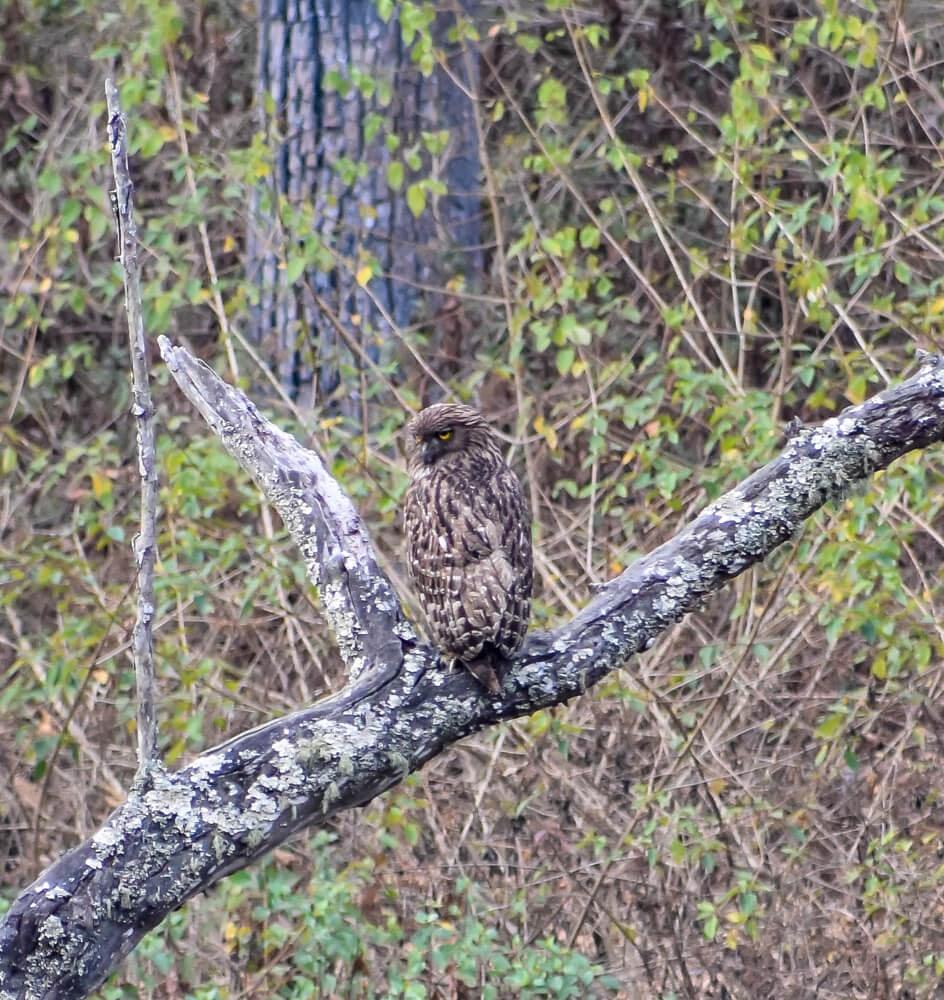 owl sideways in biligiri rangana betta hills safari.jpg