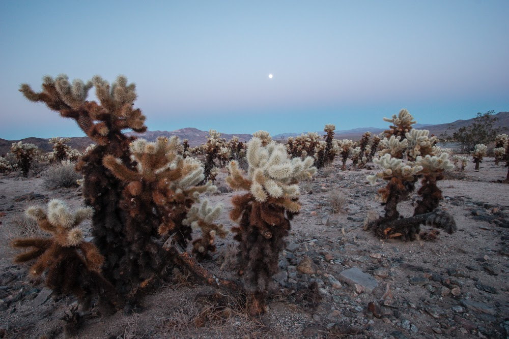 Cholla Cactus Garden