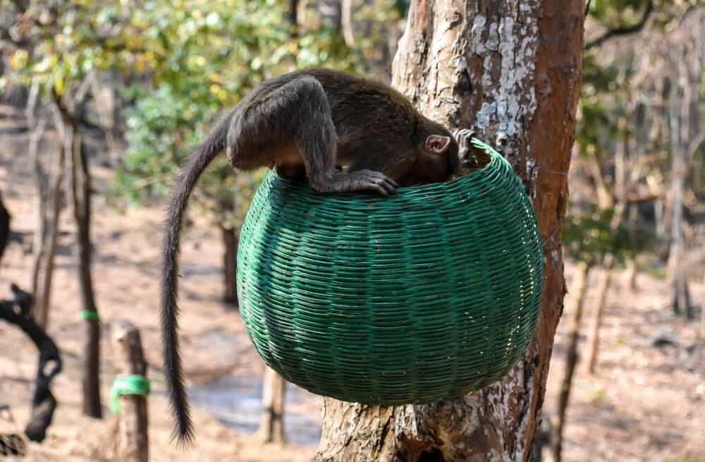 monkey in brt wildlife sanctuary karnataka.jpg