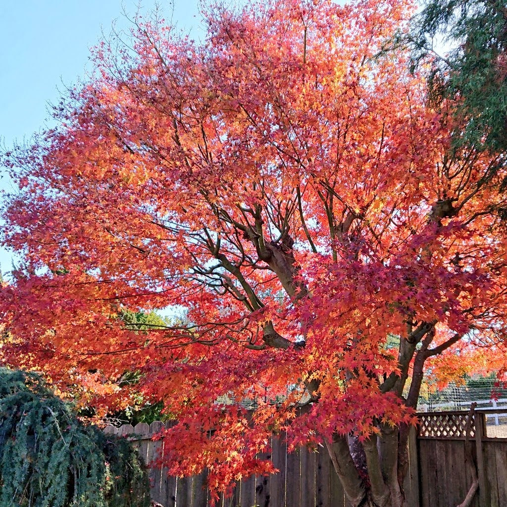 Mature Japanese Maple (Acer Palmatum) tree. Its leaves are dyestuff source for batch #1 and #2 | FAFAFOOM STUDIO