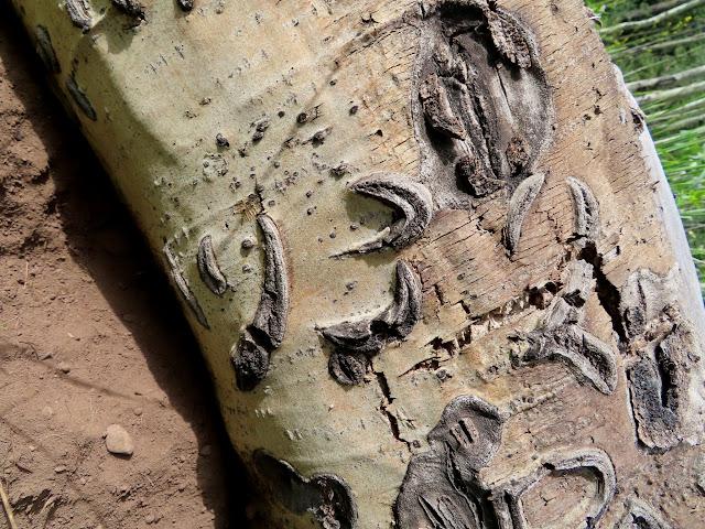 1932 carving on a fallen aspen