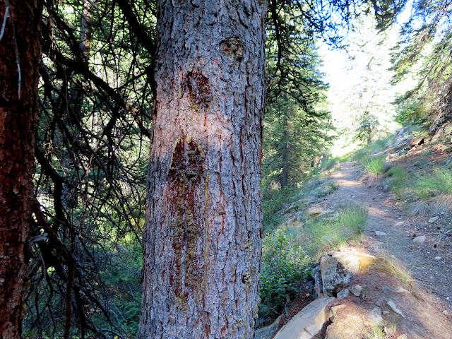 Faintly blazed pine tree