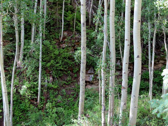 Aspen with bear claw marks