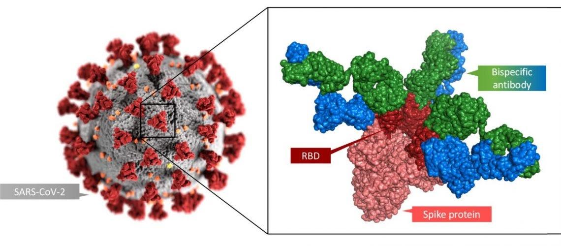 Animácia vírusu SARS-CoV-2 a novej vyvinutej protilátky