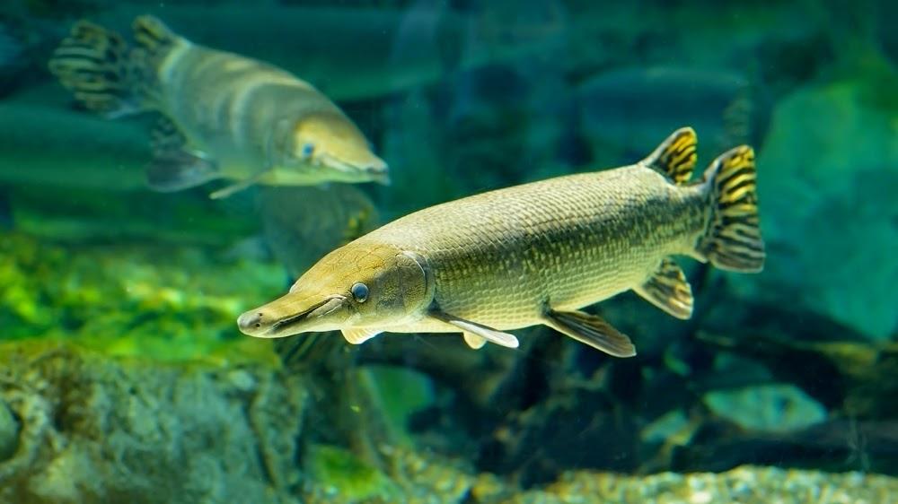 Alligator Gar, o peixe da era dos dinossauros
