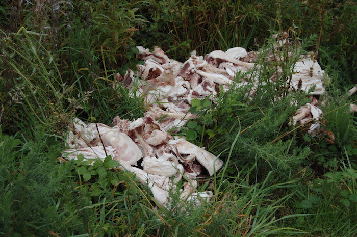 Sheep carcasses dumped in the countryside