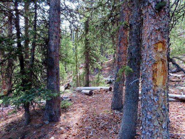 Blazed tree on the Rim Trail