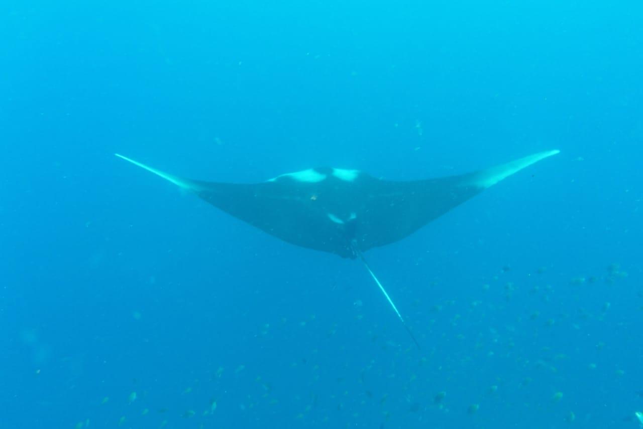 Diving with mantas in Raja Ampat