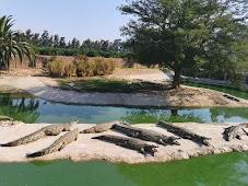 На крокодиловой ферме