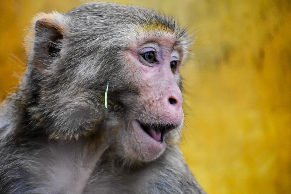 monkey close up mt popa burma.jpg
