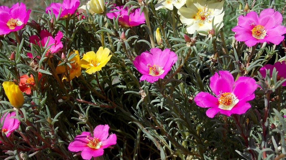 8 Practical Tips on How to Take Care of Portulaca Grandiflora hybrids
