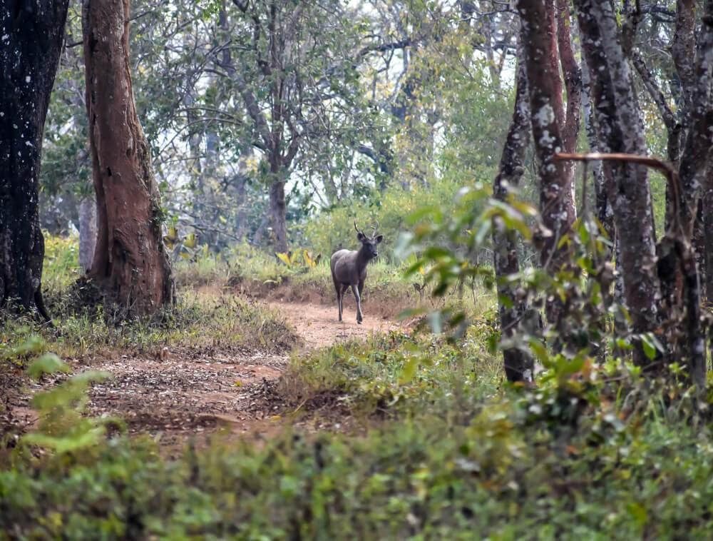 sambhal stag running away on br hills safari.jpg
